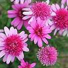 A profusion of pink by Agnes McGuinness