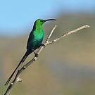Malachite Sunbird by Macky