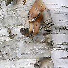 Birch Bark by Judith Hayes