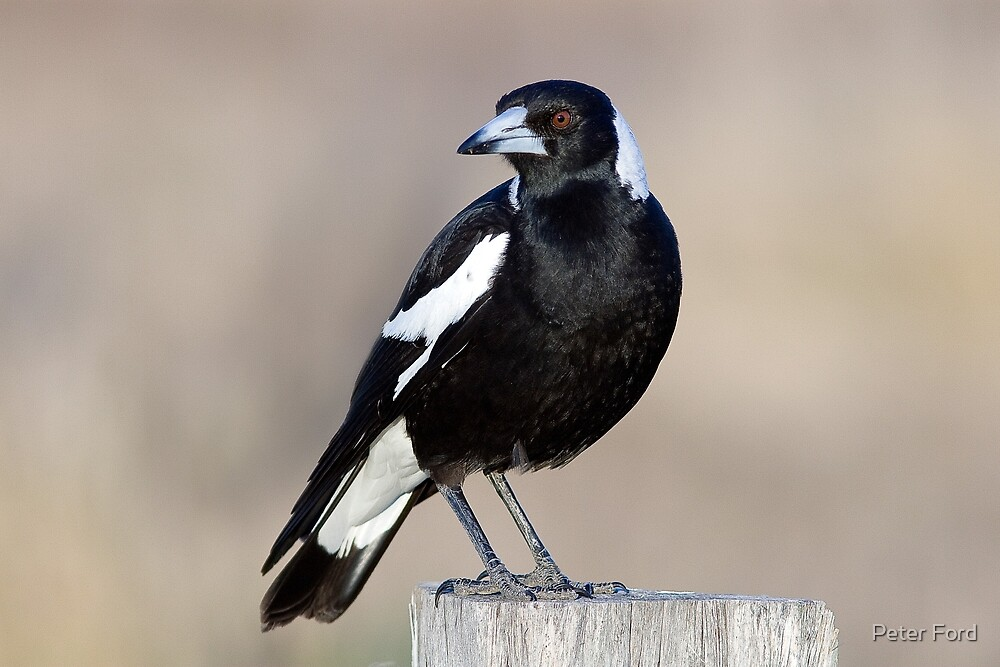 Australian Magpie by Peter Ford