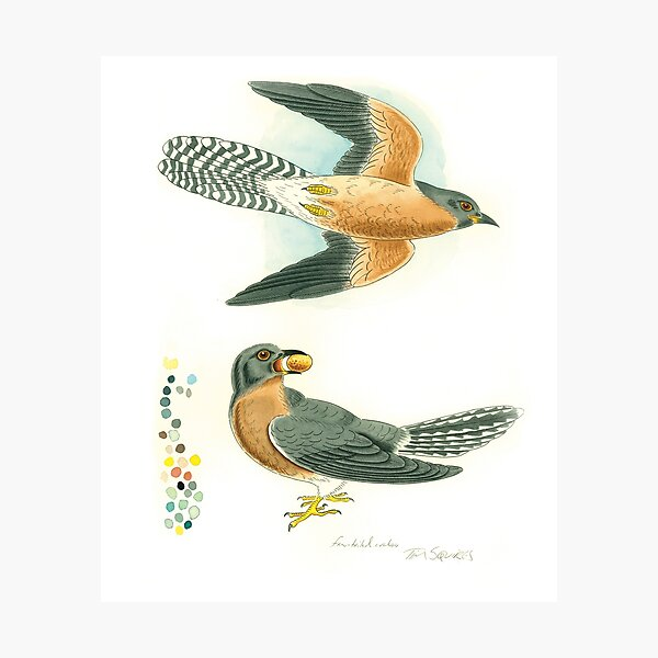 Fan-tailed cuckoo Photographic Print
