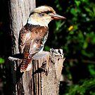 Montville Kookaburra by Truenature