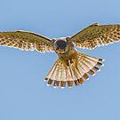 Kestrel Hovering by Lee Wilson
