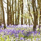 Magical light in the bluebell woods by Zoe Power
