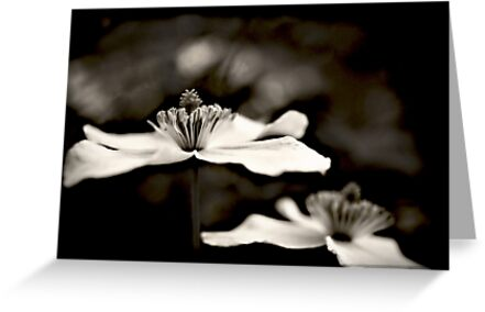 Clematis flower (in black and white) by Vicki Field