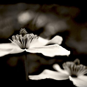 Clematis flower (in black and white) by InspiraImage