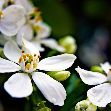 White Choisya flowers by InspiraImage