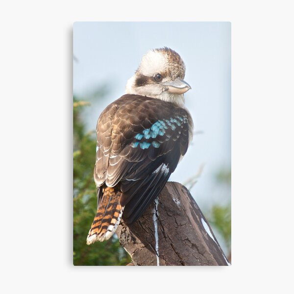 KINGFISHER ~ Kookaburra FaFgaYNH by David Irwin Metal Print