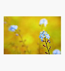 Forget me not flower  Photographic Print