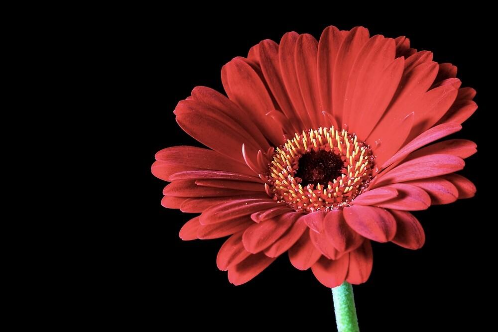 Single Red Gerbera flower by Vicki Field