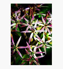 Allium Flower Macro Photographic Print