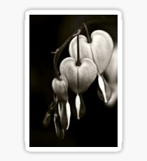 Bleeding Hearts (Dicentra) flowers in black and white Sticker