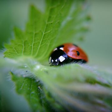 Ladybug on a leaf by InspiraImage