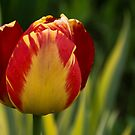Sparkles and Warmth - a Red and Yellow Tulip in the Spring Rain by Georgia Mizuleva
