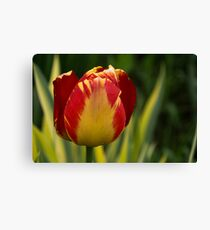 Sparkles and Warmth - a Red and Yellow Tulip in the Spring Rain Canvas Print