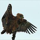 BROWN SCHLANGEN EAGLE - Circaelus Cinereus - Bruin Slangarend von Magriet Meintjes