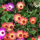 Riot of Colour - Pretty Livingstone Daisies by BlueMoonRose