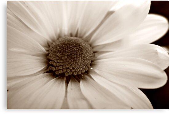 White Chrysanthemum sepia flower by Vicki Field