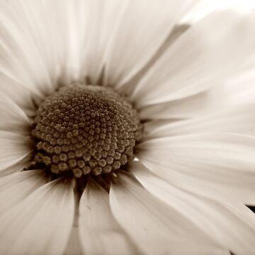 White Chrysanthemum sepia flower by InspiraImage