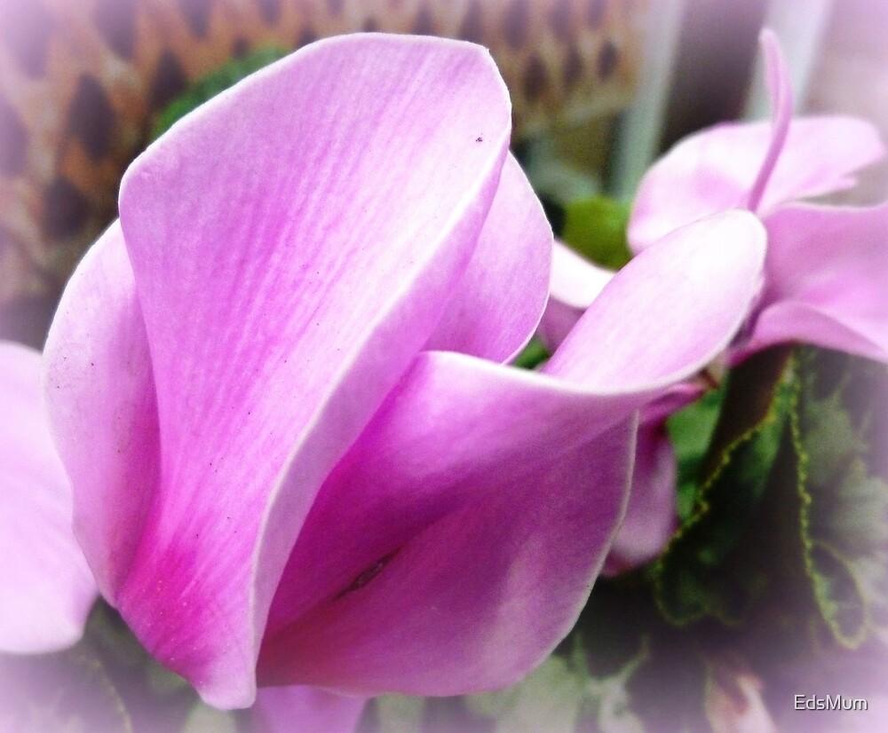 Cyclamen Flower - neighbour's garden by EdsMum