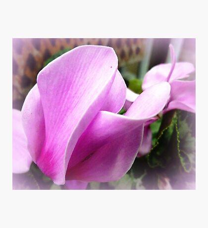 Cyclamen Flower - neighbour's garden Photographic Print