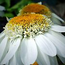 Just One Petal Out Of Place Daisy.... by naturelover