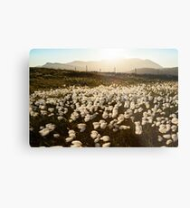 Cotton Grass Metal Print