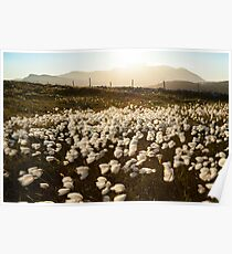 Cotton Grass Poster