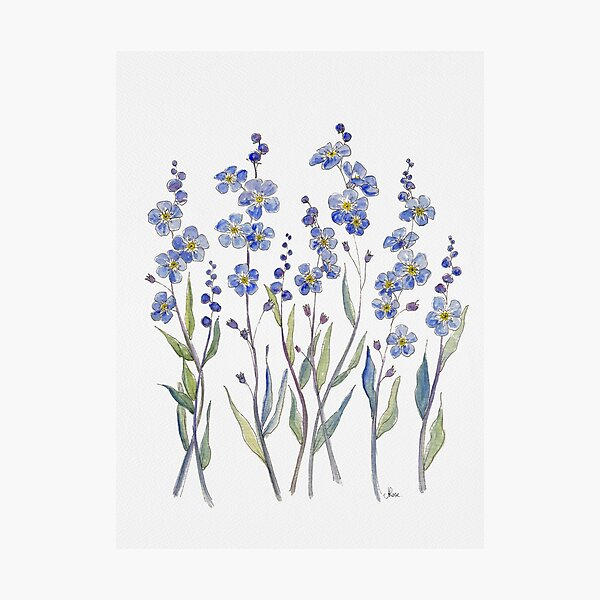 Blue Forget Me Not Blooms Photographic Print