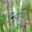 Southern Hawker by Russell Couch