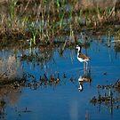Black neck stilt bird by Susan P Watkins