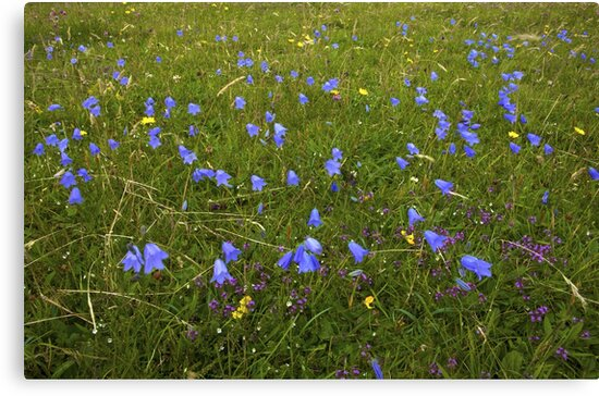 A sea of Harebells, Rossbeg, Co Donegal by George Row