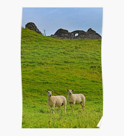 2 welsh Mountain Sheep at Dryslwyn Castle, Wales Poster