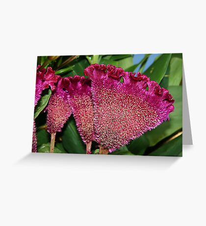 Celosia Greeting Card