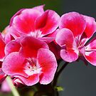 Close up of a stunning pink geranium by ForeverFrodo
