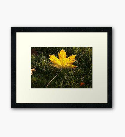 A fallen maple leaf in the sun Framed Print