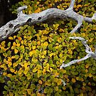 Cradled Fagus, Mt Field by Jim Lovell