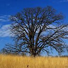Prairie, savanna oak - blue sky and golden grass by rvjames