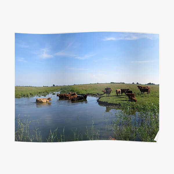 Cows looking for cool water Poster