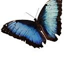 Blue Morpho Butterfly by QWERTYvsDVORAK