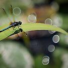 Dragon Fly Genießen Sie die Aussicht von Peter O'Hara