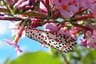 Heliotrope Moth  by Trish Meyer