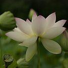 lotsa lotus by mellychan