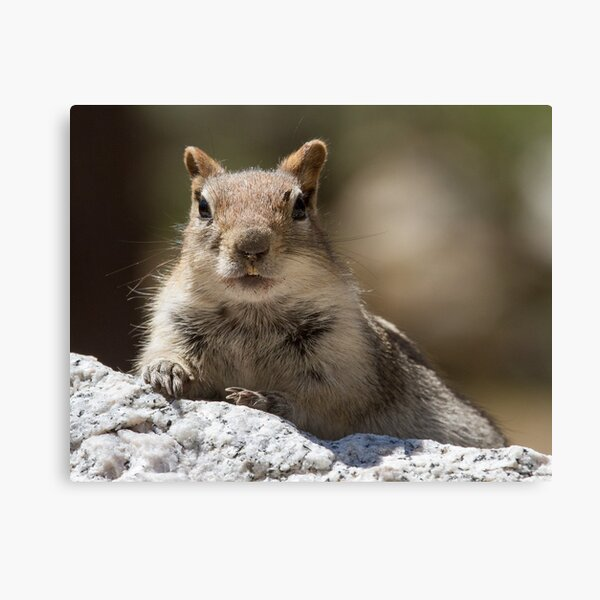 Face the squirrel Canvas Print