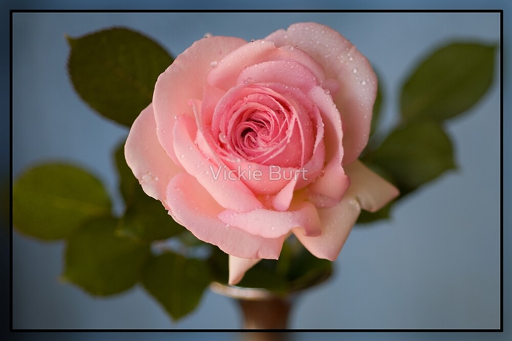 Pink rose by Vickie Burt