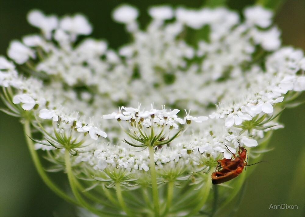 Soldier Beetles and Queen Anne's Lace by AnnDixon