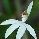 Lady finger orchid .. Caladenia catenata by Michael Matthews