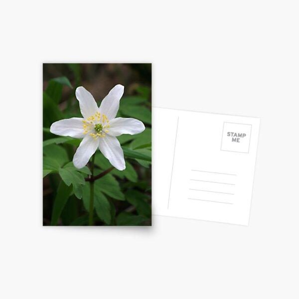 Wood Anemone Postcard