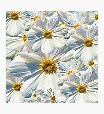 marguerites, daisy Photographic Print