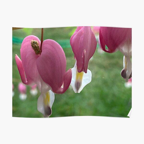 Bleeding Heart Flower in the garden Poster